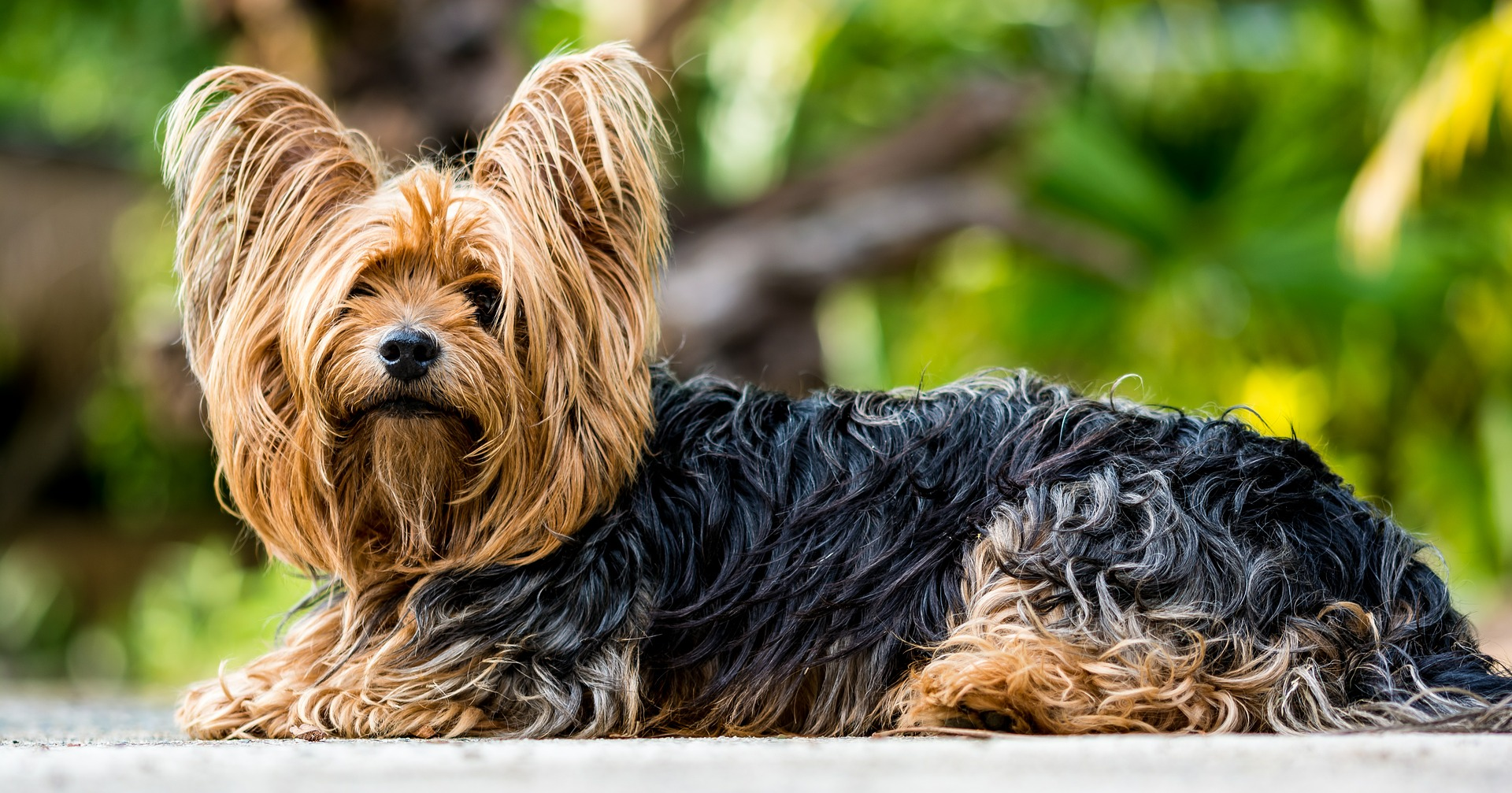 Corte de pelo raza yorkshire terrier styledogs - Best dogs for small spaces pict ...