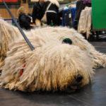 razas de perro de pelo largo