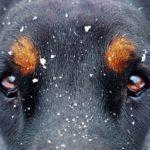 cuidados oculares en el perro