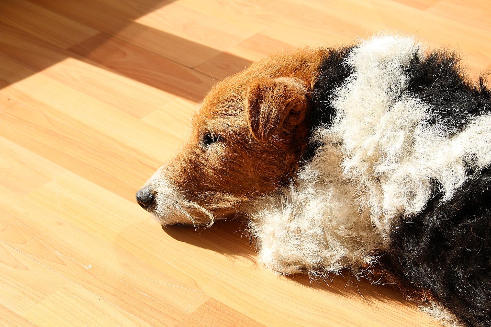 Cuidados de los perros de pelo duro